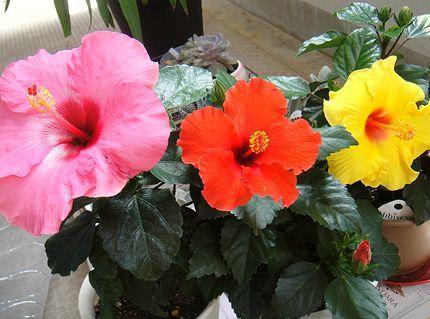 hibiscus-DSC03384.jpg
