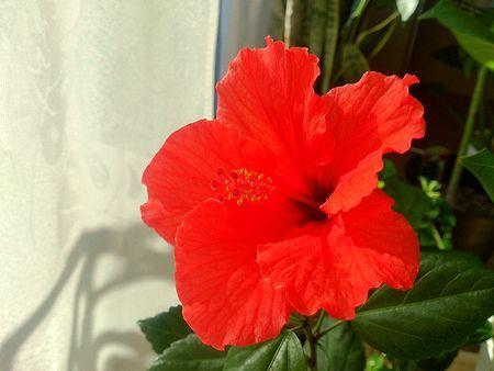 hibiscus-DSC_0931.jpg